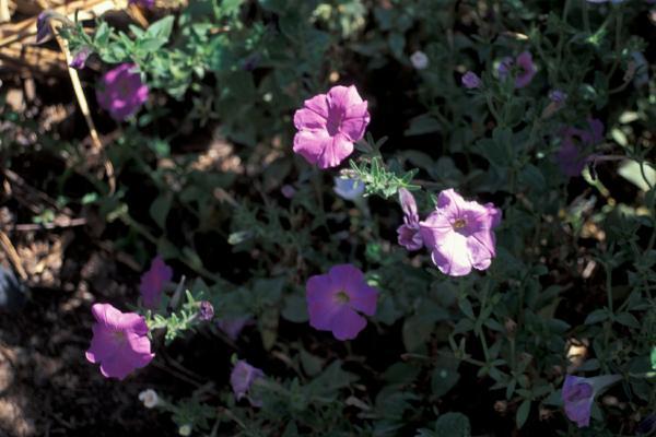 Surfinia rubens flor catalogo store for Petunie inverno