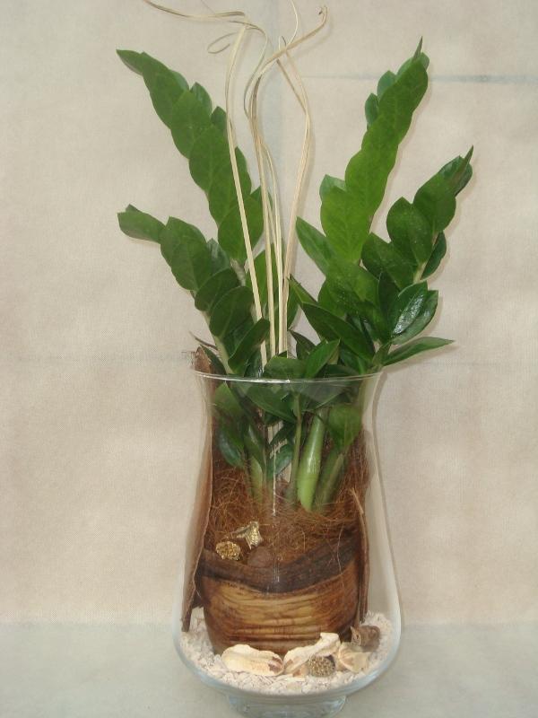 Tutti i prodotti rubens flor catalogo store for Pianta zamioculcas